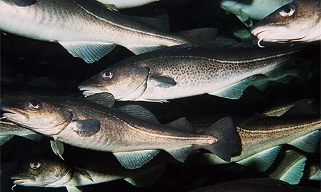 North Sea cod. Photograph: Corbis