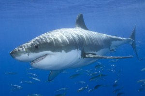great white shark colouration