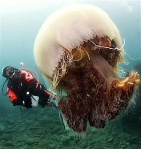 Nomura Jellyfish, with diver for scale comparison