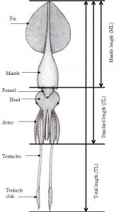 the colossal squid natures largest invertebrate the liquid earth. Black Bedroom Furniture Sets. Home Design Ideas
