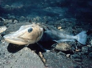 Icefish resting