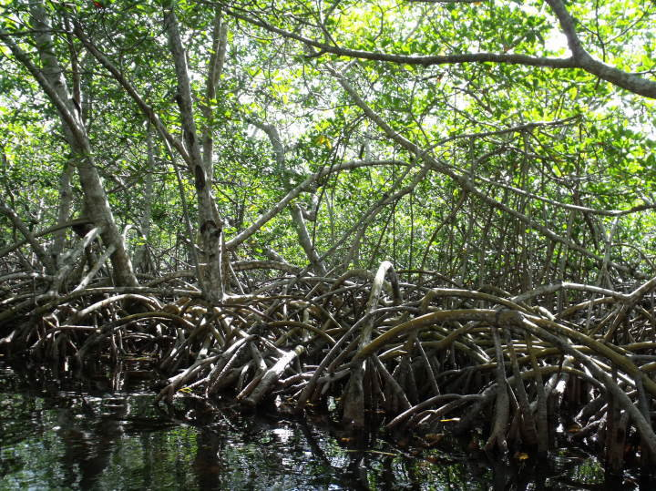 Picture of mangroves, all rights belong to Jamie Johnson