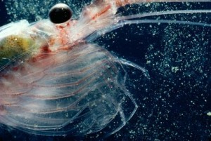 The Antarctic Krill