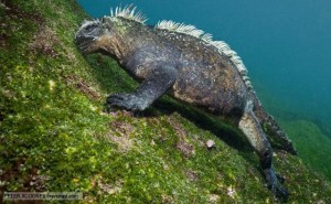 Marine iguana foraging underwater