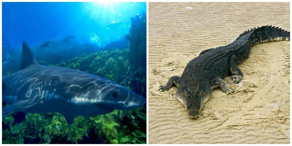 часто гребнистый крокодил или большая белая акула очень сильно потребителей