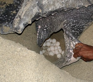 Fig.2 Leatherback mother laying her eggs http://www.saveourleatherbacks.org/leatherbackseaturtle.html