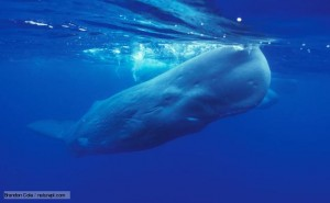 A sperm whale takes a gulp of air from the surface before diving down to the depths