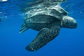 Fig.1 Clearly defined characteristics http://www1.qoloq.com/baby-leatherback-sea-turtles.html