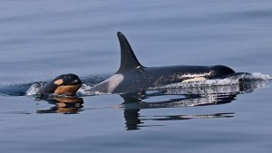 The now rare sight of an orca calf, unlikely to be seen in Eurpoean waters again.